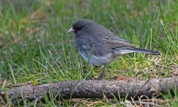 Dark-eyed Junco - Cobbs Hill - © Dick Horsey - Apr 24, 2017