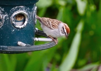 Chipping Sparrow - Irondequoit - © Candace Giles - Apr 25, 2017