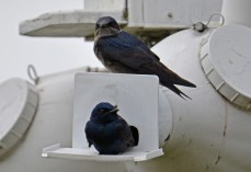 Purple Martin - Montezuma NWR - © Dick Horsey - Apr 26, 2017