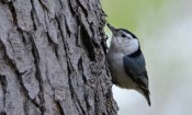 White-breasted Nuthatch - Cobbs Hill (RBA Field Trip) - © Dick Horsey - May 03, 2017