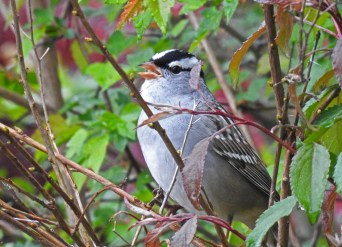 White-crowned Sparrow - Irondequoit - © Candace Giles - May 04, 2017