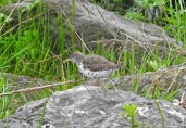 Spotted Sandpiper - Irondequoit Bay Outlet - © Eunice Thein - May 06, 2017