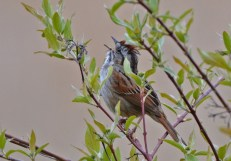 Swamp Sparrow - Lucien Morin Park (RBA field trip) - © Dick Horsey - May 11, 2017
