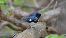 Black-throated Blue Warbler - Cobbs Hill - © Dick Horsey - May 11, 2017
