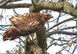 Red-tailed Hawk - Lucien Morin Park (RBA field trip) - © Eunice Thein - May 11, 2017