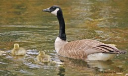 Canada Goose - Holy Sepulchre Cemetery - © Robert Burkert - May 13, 2017