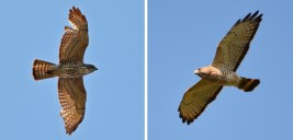 Broad-winged Hawk (L-immature / R-adult) - Beatty Point - © Dick Horsey - May 17, 2017