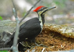 Pileated Woodpecker - Cobbs Hill - © Dick Horsey - May 23, 2017
