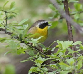 Common Yellowthroat - Island Cottage Woods - © Shawn Dowd - May 26, 2017