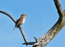 Veery - Iroquois NWR (RBA field trip) - © Rosemary Reilly - May 28, 2017