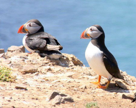 Iolo Williams, BBC Springwatch, Puffins on Skomer, Pembrokeshire Coast National Park, south West Wales