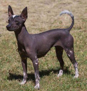 Xoloitzcuintle el perro azteca