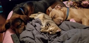 Two dogs sleeping with a cat.
