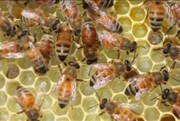 Lawmakers pass legislation to protect beekeepers from lawsuits