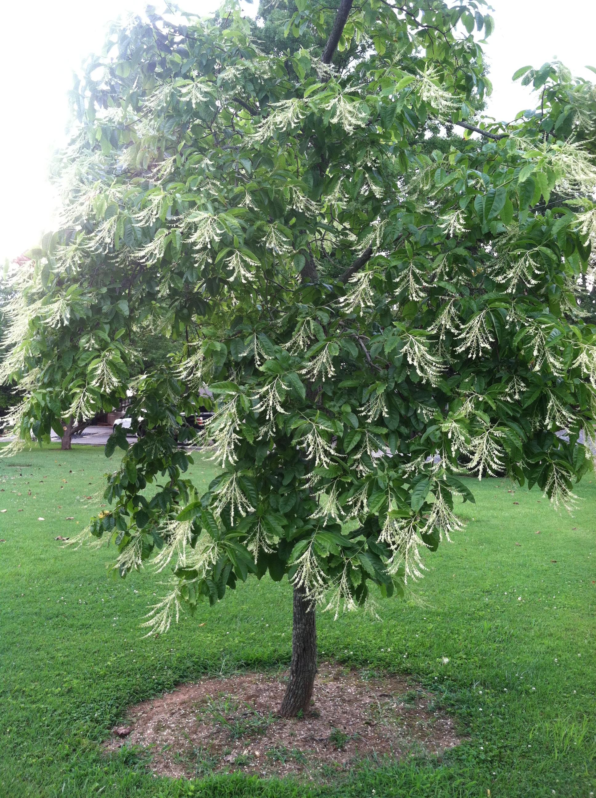 Sourwood Tree Trees For Bees 1 Gallon Rock Bridges Trees