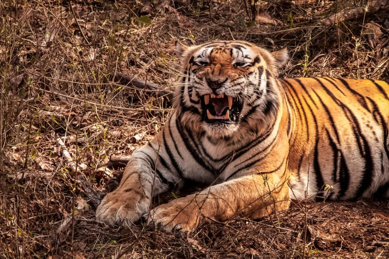 what type of animal is shere khan the villain of the jungle book 60589068064d7 scaled