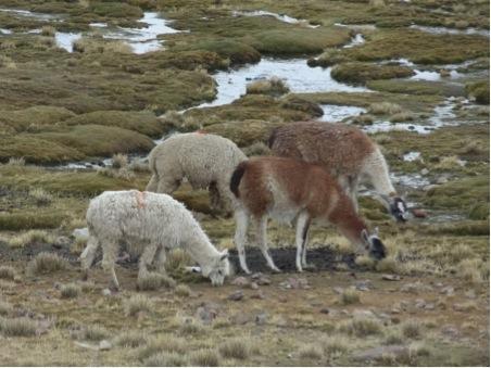Alpacas and llamas grazing together