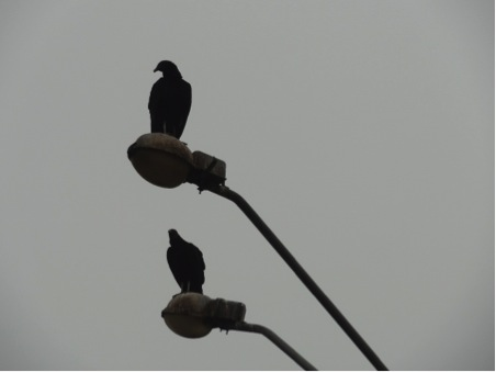 Perching vultures in Lima