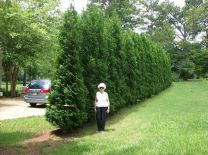 Awesome Fence With Evergreen Plants Landscaping Ideas 111