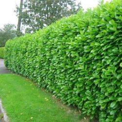 Awesome Fence With Evergreen Plants Landscaping Ideas 53