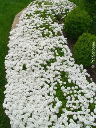 Awesome Fence With Evergreen Plants Landscaping Ideas 86