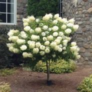 Beautiful Flowering Tree for Yard Landscaping 11