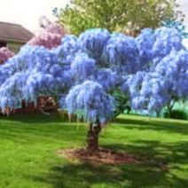 Beautiful Flowering Tree for Yard Landscaping 14