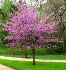 Beautiful Flowering Tree for Yard Landscaping 18