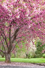 Beautiful Flowering Tree for Yard Landscaping 2