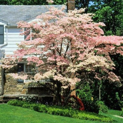 Beautiful Flowering Tree for Yard Landscaping 20
