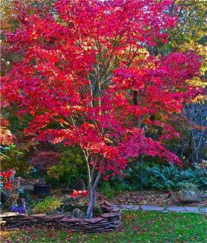 Beautiful Flowering Tree for Yard Landscaping 30