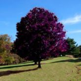Beautiful Flowering Tree for Yard Landscaping 5