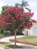 Beautiful Flowering Tree for Yard Landscaping 6