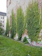 Impressive Climber and Creeper Wall Plants Ideas 10