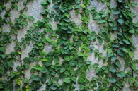 Impressive Climber and Creeper Wall Plants Ideas 62