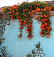 Impressive Climber and Creeper Wall Plants Ideas 8