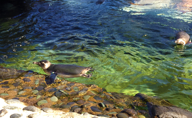 Magellanic Penguin - Surf's Up 2