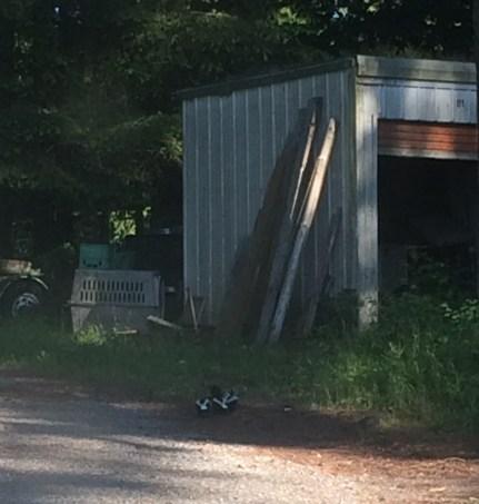 Three little skunks tooling around the yard