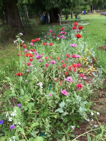 I tossed out lots of aging flower seeds and it turns out poppies were the most viable