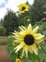 Vanilla Ice sunflower.