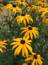 Black Eyed Susans.