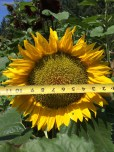 Large sunflower.