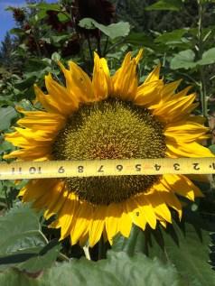 Large sunflower.