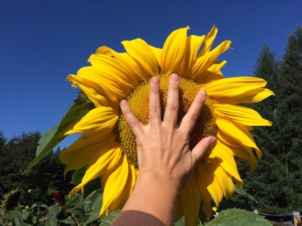 Sunflowers are getting bigger.