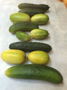 Pickling and slicing cucumbers.