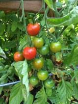 Tomato gradient.