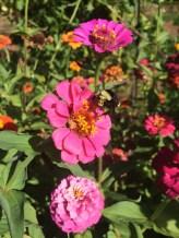 Bee & zinnia