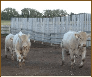 Cattle_01