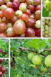 What is a Gooseberry ?