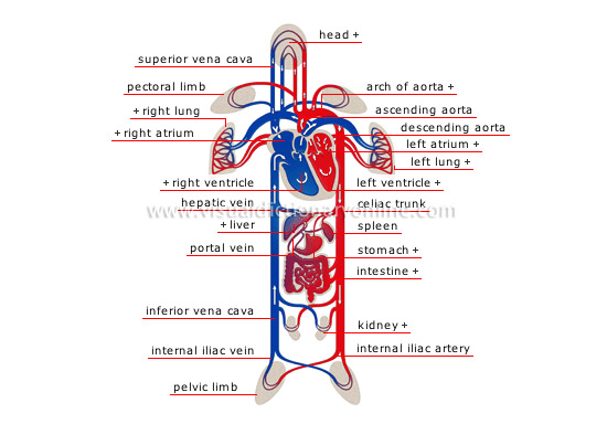 Le Meilleur Human Being Anatomy Blood Circulation Schema Of Ce Mois Ci